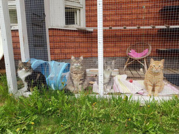 kissat ulkoilevat tarhassa