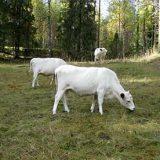 Kesällä lehmipaimeneen Evolle